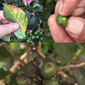 Rust, broca and fumagina – 3 coffee damages
