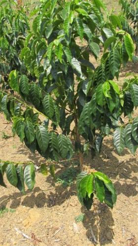 Cultivar Batian from WRC